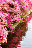 Pink blooming  bushes — Stock Photo