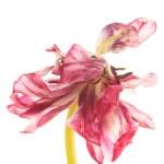 Red tulip flowers — Stock Photo #49776157