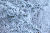 Branches covered with hoarfrost — Stock Photo