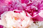 Bouquet de pivoines — Photo