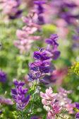 Flores de color púrpura — Foto de Stock