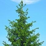 Spruce — Stock Photo #13505323