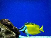Coral fish — ストック写真