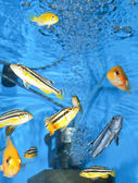 Parrot-cichlids — Stock Photo