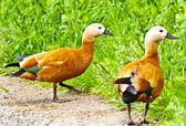 Roody shelduck (Tadorna ferruginea) — Stock Photo