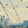 Urban crows — Stock Photo