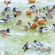 Stock Photo: Winter ducks