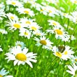 Daisy field — Stock Photo #39450323