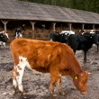 Farmyard. cow — Stock Photo