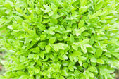 Boxwood — Stock Photo