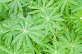 Lupine leaves — Stockfoto