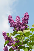 Syringa flowers — Stock Photo