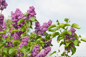 Syringa flowers — Foto Stock
