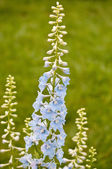 Delphinium flowers — Stock Photo