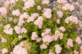 Spiraea japonica Japanese Dwarf — Stock Photo