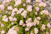 Spiraea japonica Japanese Dwarf — Stock Photo