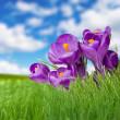 çim gökyüzü ve violet fliower manzara — Stok fotoğraf