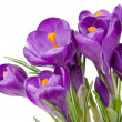 Purple crocus with a white background — Stock Photo