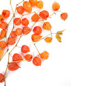 The branches of Physalis — Stock Photo