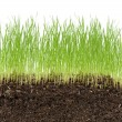 Green grass in soil isolated on white background — Stock Photo