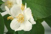 Jasminblüte im garten — Stockfoto