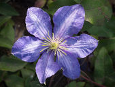 Bluish purple clematis — Stock Photo