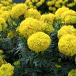 Yellow Flower, Marigold - Stock Photo