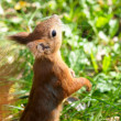 Squirrel jumps in the autumn forest — Stock Photo