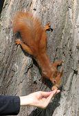 木にリスし、手から食べる — ストック写真
