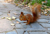 Squirrel with nut — Stok fotoğraf