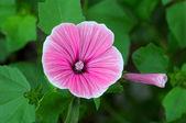 Petúnia lindas flores sobre um fundo verde — Foto Stock