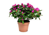 Blossoming plant of azalea in flowerpot isolated on white — Stock Photo
