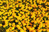 Yellow Flower, Marigold — Stock Photo