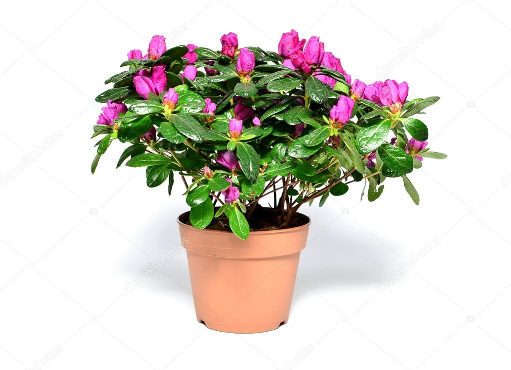 planta flor de azal 233 ia no vaso isolado no branco fotografias de stock 169 dnkstudio 22709715