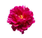 Pink peony flower isolated on white background — Stock Photo