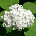 Blossom of white Hydrangea (Hortensia) in a garden — Stock Photo #27203639