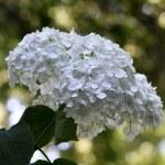 Blossom of white Hydrangea (Hortensia) in a garden — Stock Photo #27461317