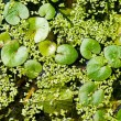 Green duckweed growing on water surface forming an interesting n — Stock Photo