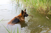 The German shepherd bathes in a pond — Stock Photo
