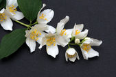 Jasmine flowers on a black background — Stock fotografie