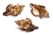 Three sea shells on a white background — Stock Photo