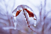 Frozen in the ice branches — Stock Photo