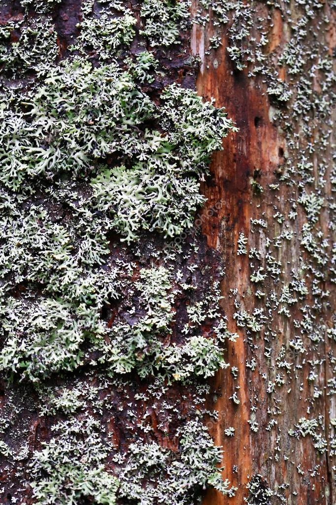 Closeup of green silver moss on old wet wood. Nice background — Stock Photo #13269386