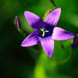 Stock Photo: Purple Wildflower