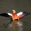 Ruddy Shelducks - 图库照片