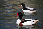 Shelducks On Water — Stock Photo