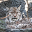 Lynx Portrait — Stock Photo #24201431