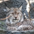 Lynx Portrait - Stock Photo