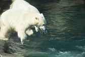 Плавательный полярные медведи — Стоковое фото