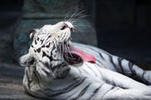 White Tiger Yawing — Stock Photo